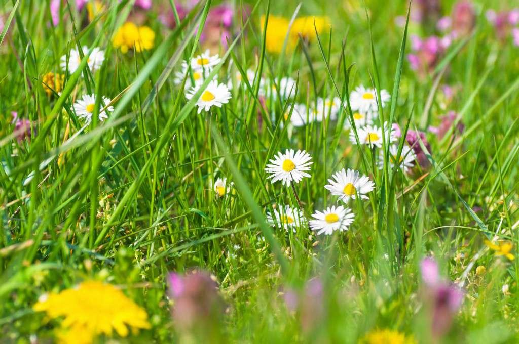 Bunte Frhlingswiese, Wiesenblumen
